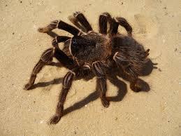 Tarantula Cubensis in Diphtheria