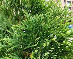 PROLAPSUS OF VAGINA CURED BY THUJA