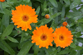 CALENDULA AN ANTIDOTE TO APIS
