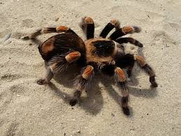 TWO NOTABLE CASES – SULPHUR AND TARANTULA CUB
